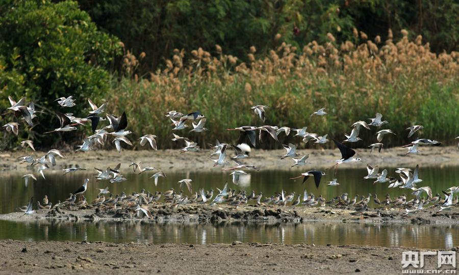 珠三角地区拟建19条水鸟生态廊道