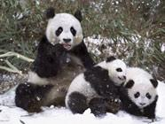 Симпатичные панды в объективе известного фотографа-анималиста  Стива Блума