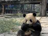 """Десять больших панд отправились в Шанхай по случаю """"ЭКСПО-2010"""""""