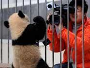 16 детенышей панды в заповеднике «Волун» отправились в «детский сад»