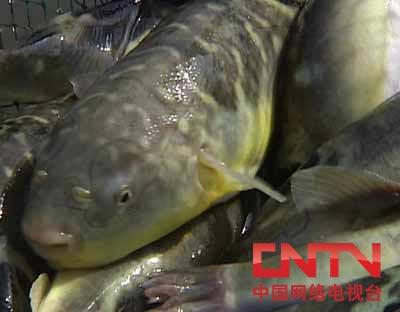[每日农经]记者追踪:爱生气的鱼身价高(2010.4.9)