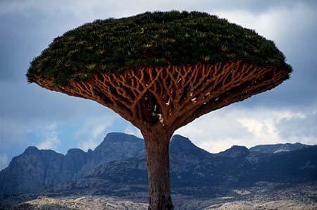 Dragon'sbloodtree(PhotoSource:sina.com)