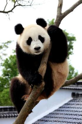 A giant panda plays on a tree at the panda park in Xiuning, east China's Anhui Province, June 30, 2010. Three giant pandas, migranted from Ya'an of southwest China's Sichuan, have lived in Xiuning for more than two months and adapted well to the new environment. (Xinhua/Shi Guangde)
