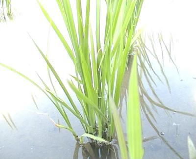 稻花香水稻