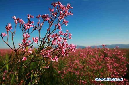 ApocynumvenetumplantblossominAlakakVillageofAltay,northwestChina'sXinjiangUygurAutonomousRegion,July8,2010.(Xinhua/LiuXinhai)