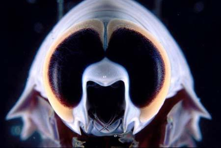 """Deep-Sea Amphipod"", photograph courtesy Queensland Brain Institute."