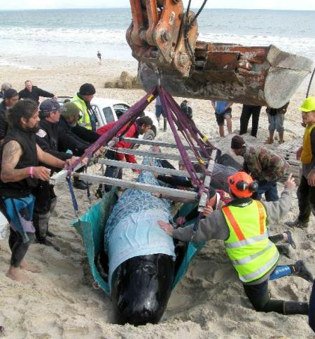 Rescuers try to lift a stranded pilot whale at Karikari beach, in New Zealand. Only nine of 63 whales which beached themselves in a northern New Zealand bay survived, rescuers said. Although 13 whales were refloated, a day after they were found stranded in the sand, four were unable to make their way out to sea and had to be put down. (Xinhua/AFP Photo)