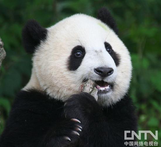 可爱的大熊猫吧!