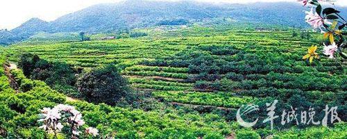 凤凰山处在潮州的最高处,有茶场万亩.(潮州市旅游局提供)