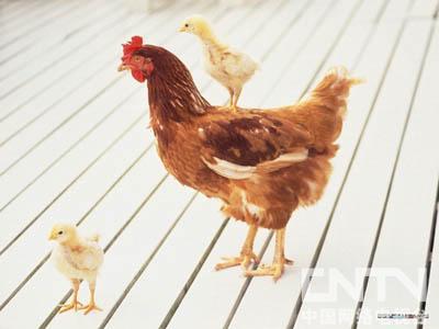 你喜欢小鸡吗?你知道小鸡怎么叫吗?