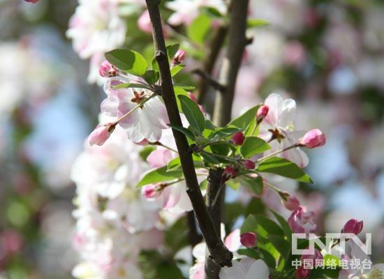 元大都城垣遗址公园第十四届海棠花节