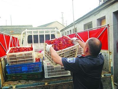 工作人员将死龙虾捞出运走。梅建明摄