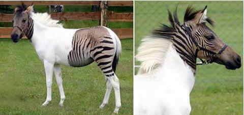 杂交斑马:由斑马和马科动物杂交产下
