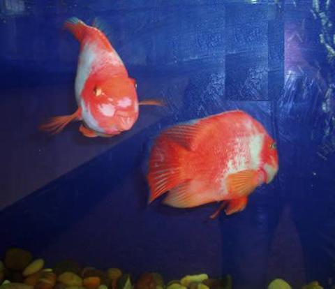 血鹦鹉:双冠丽鱼与红魔鱼杂交产下