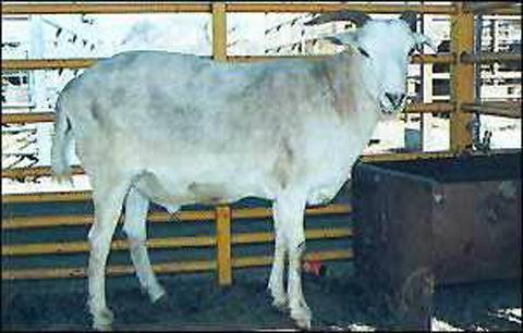 混血羊:绵羊与山羊的杂交产物