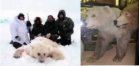 杂交熊:北极熊与棕熊的杂交后代