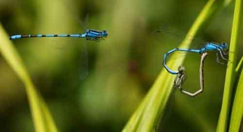 """两只蜻蜓交配时,摆出浪漫的""""爱心""""造型,另一只蜻蜓似乎要来搅局。"""