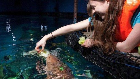 饲养员喂生菜头给鲨鱼吃。