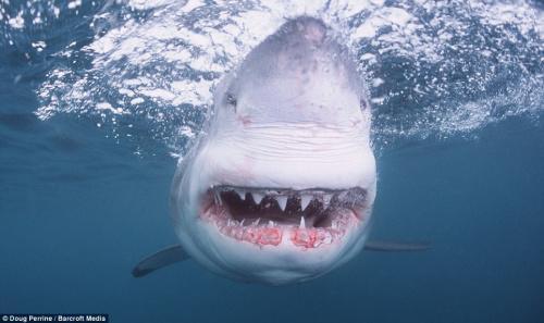 资料图:大白鲨