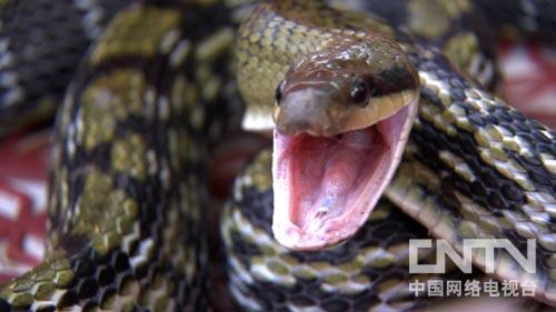 李琼,养蛇,打工妹遭遇流言蜚语之后(9月27日2