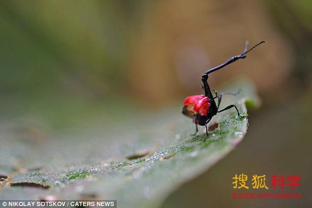 长颈象鼻虫的长颈并不能帮助获得食物,但可以作为雄性之间争斗的攻击武器,来获得雌性的青睐