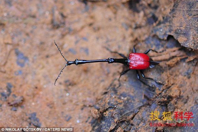 这是一种神秘的昆虫,它们并未列入受到威胁或者濒临灭绝的物种名单,直到2008年才在马达加斯加岛上发现它们的存在