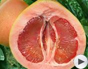 第四届魅力农产品:琯溪蜜柚
