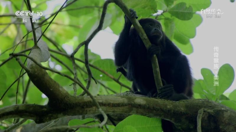 《自然传奇》 20201125 传奇猴族·美洲