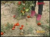 高粘番茄俏市场