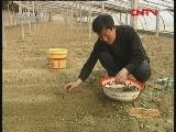 [农广天地]切花用玫瑰大棚种植技术(20110928)