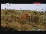 雌狼萨娜特(下)[人与自然] 20120103