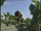 向日葵秕籽的原因及预防