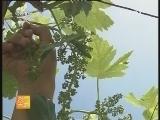 红提葡萄果穗期处理技术