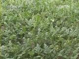 保护地优质小西瓜栽培技术