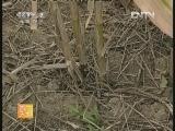 """[农广天地]夏玉米""""一穴三株""""高产栽培技术(20121009)"""