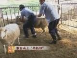 """公羊养殖技术科技苑:谁会当上""""羊新郎"""""""