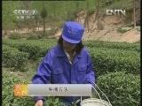 茶叶加工农广天地,汉中仙毫的加工_致富经