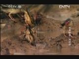 《自然传奇》 20130125 自然故事·大迁徙
