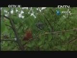 《鸟的迁徙》 20130615 片段 回归