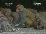 代国夫猕猴养殖生财有道,海南岛上的猕猴王国