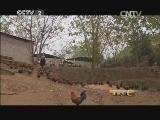 苗族的王华敏养鸡生财有道,苗寨里的鸡妈妈