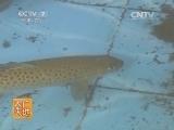 养鱼农广天地,细鳞鱼养殖技术