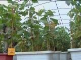 [科技苑]花盆里长出葡萄树(20140305)