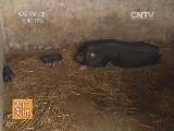 养猪技术农广天地,关岭猪养殖技术