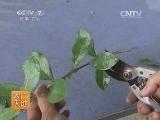 蓝莓种植农广天地,兔眼蓝莓种植技术(20