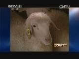 项继忠养羊生财有道,羊倌项继忠