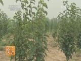 [农广天地]晚秋黄梨栽培技术(20140512)