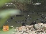 [农广天地]龙胜翠鸭养殖技术(20140513)