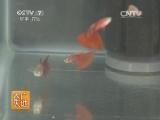 [农广天地]淡水观赏热带鱼养殖技术(20140608)