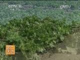[农广天地]青麻叶大白菜系列品种介绍(201400609)